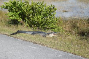 Alligator at Shark Valley