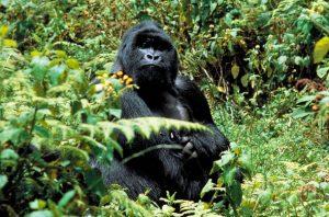 Silverback Lodge Gorilla